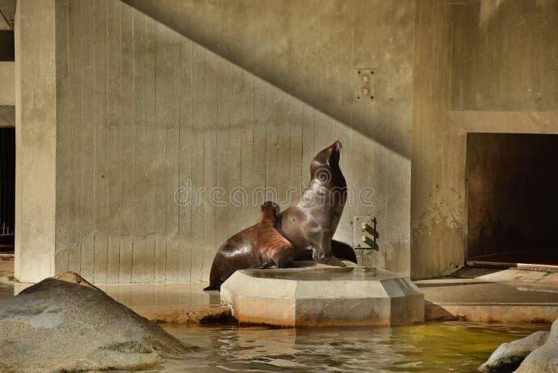 Lobo de mar 2 imagem de stock royalty free