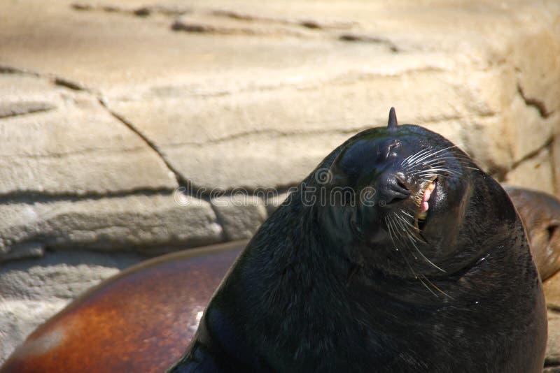 Lobo de mar 2 fotografía de archivo libre de regalías