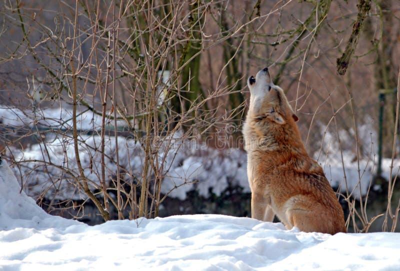 Lobo del grito fotografía de archivo