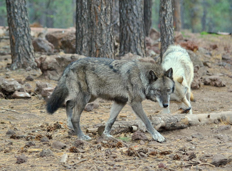Lobo do Alasca da tundra imagens de stock