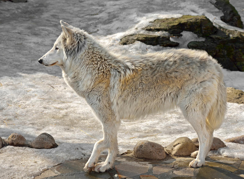 Lobo do Alasca da tundra (tundrarum do lúpus de Canis) imagem de stock royalty free