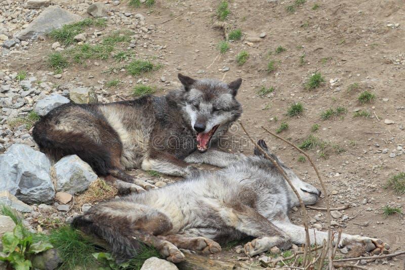 Lobo do vale de Mackenzie foto de stock royalty free