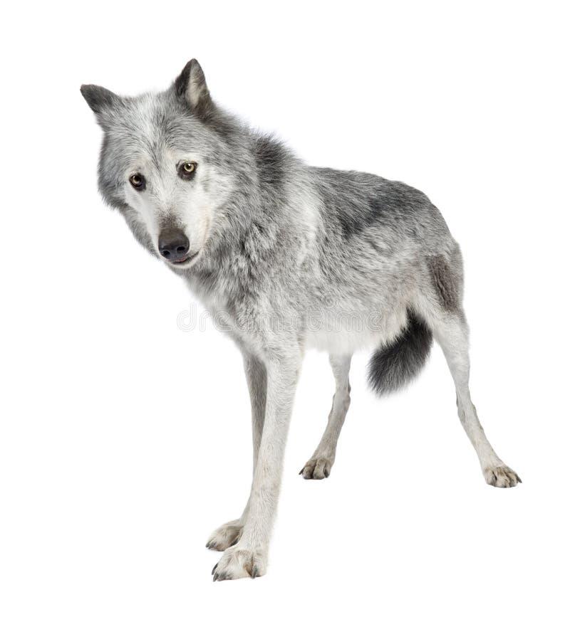 Lobo do vale de Mackenzie (8 anos) fotos de stock royalty free