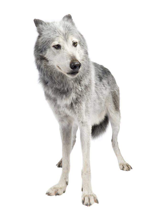Lobo do vale de Mackenzie (8 anos) fotos de stock