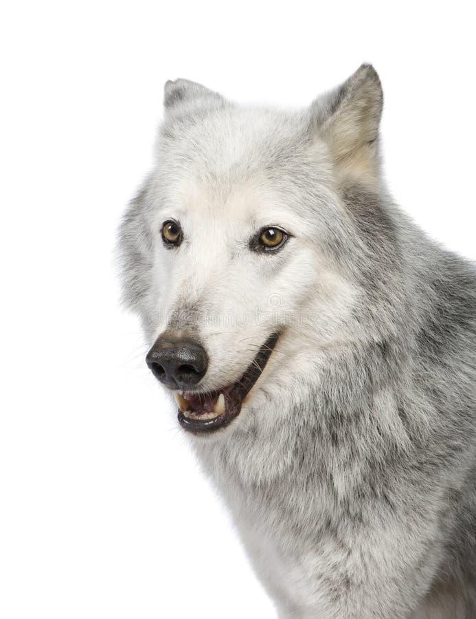 Lobo do vale de Mackenzie (8 anos) fotografia de stock