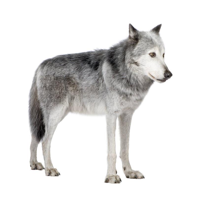 Lobo do vale de Mackenzie (8 anos) imagens de stock royalty free
