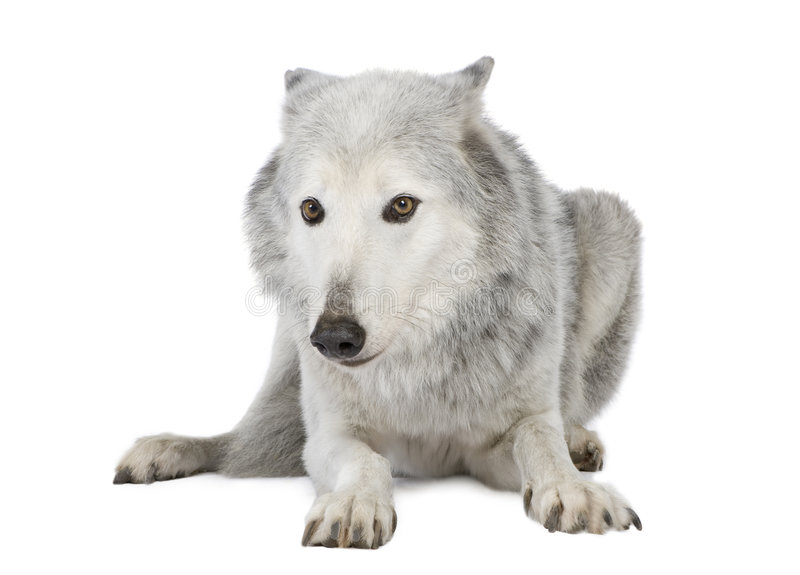 Lobo do vale de Mackenzie (8 anos) imagens de stock