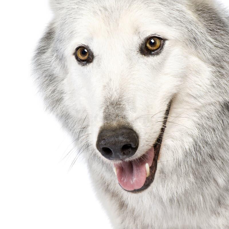 Lobo do vale de Mackenzie (8 anos) - occi do lúpus de Canis imagens de stock royalty free