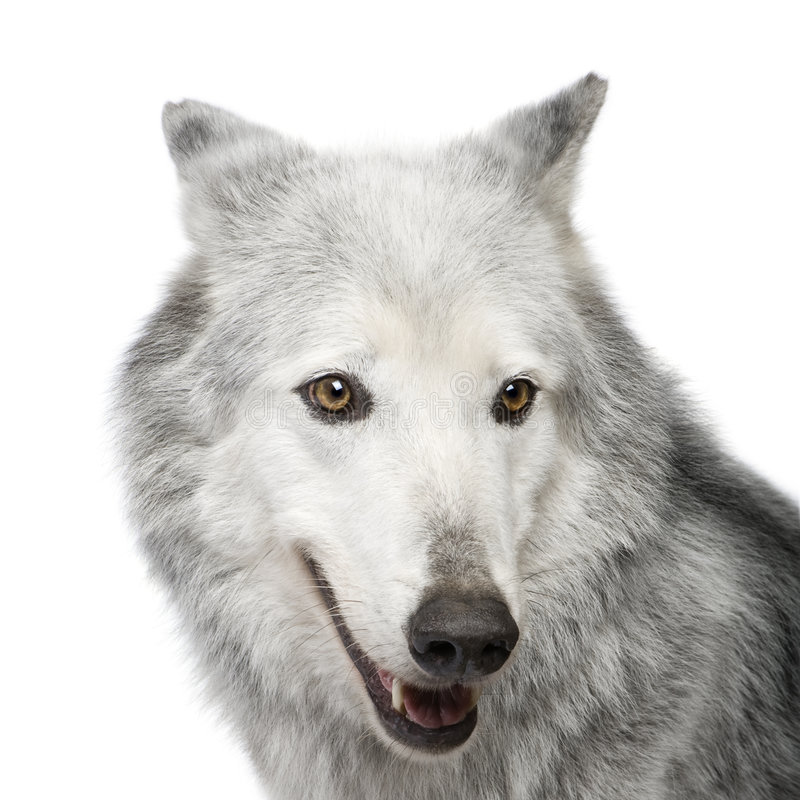 Lobo do vale de Mackenzie (8 anos) - occi do lúpus de Canis foto de stock royalty free