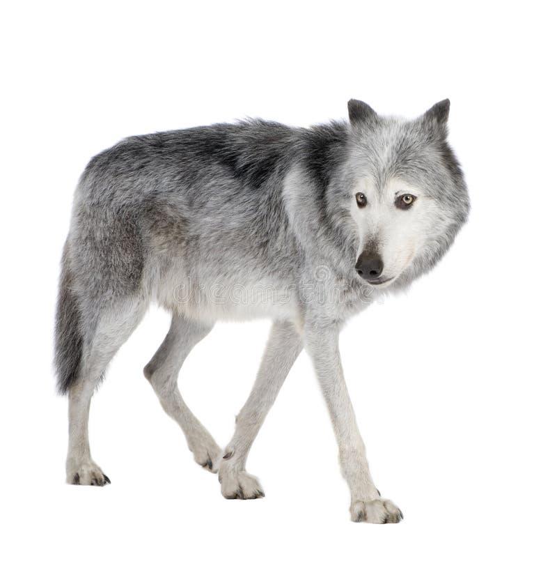 Lobo do vale de Mackenzie (8 anos) - occi do lúpus de Canis imagens de stock