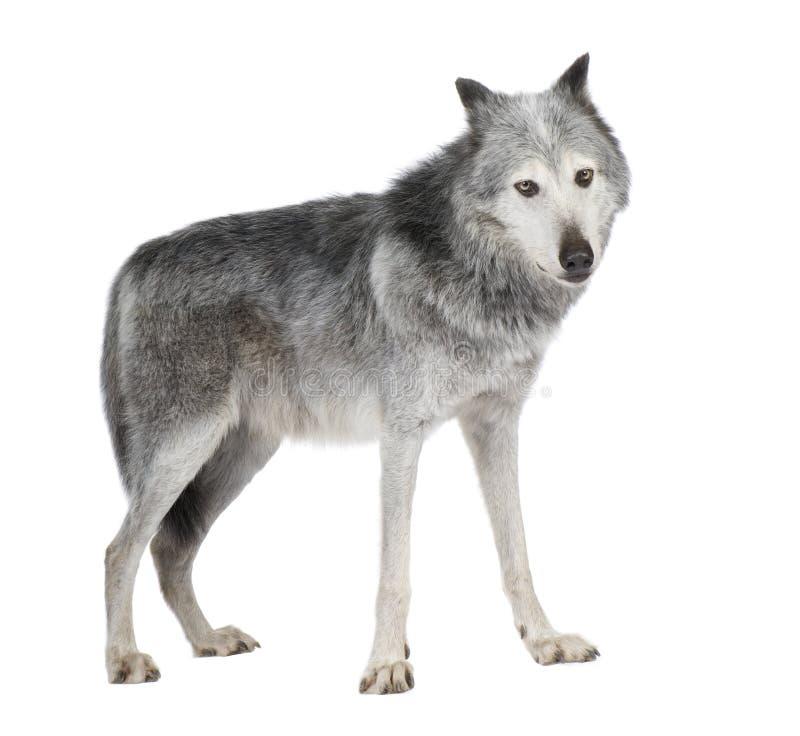 Lobo do vale de Mackenzie (8 anos) - occi do lúpus de Canis imagem de stock