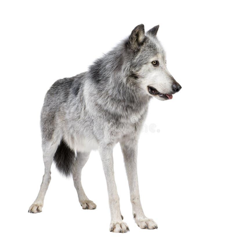 Lobo do vale de Mackenzie (8 anos) - occi do lúpus de Canis fotos de stock