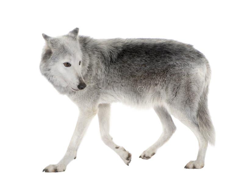 Lobo do vale de Mackenzie - occidentalis do lúpus de Canis fotografia de stock royalty free