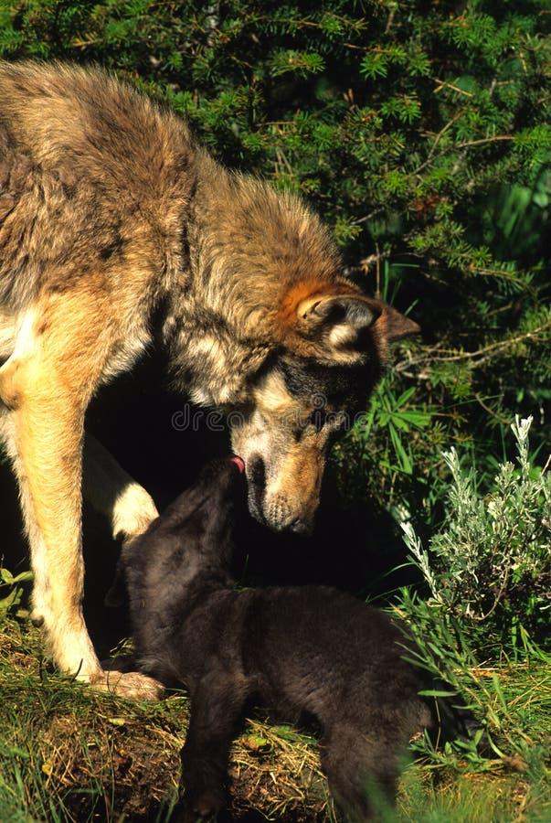 Download Lobo E Filhote De Cachorro Fêmeas Foto de Stock - Imagem de lobo, wildlife: 12807754