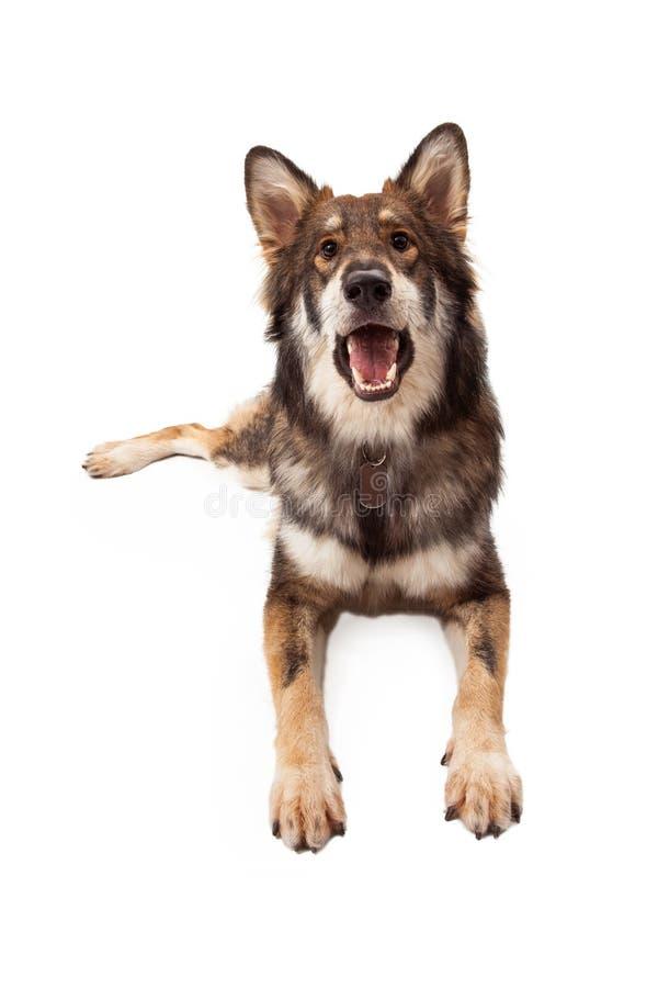 Lobo e pastor alemão Cross Dog Barking foto de stock