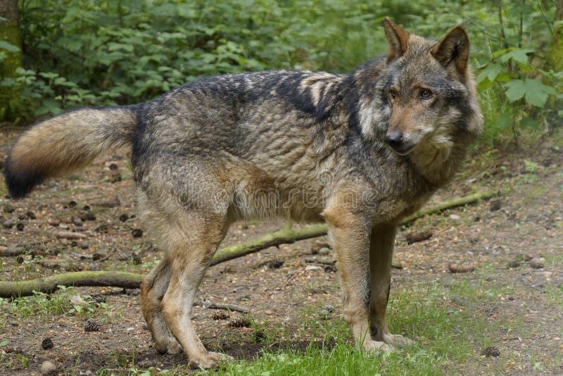 Lobo en el bosque foto de archivo libre de regalías