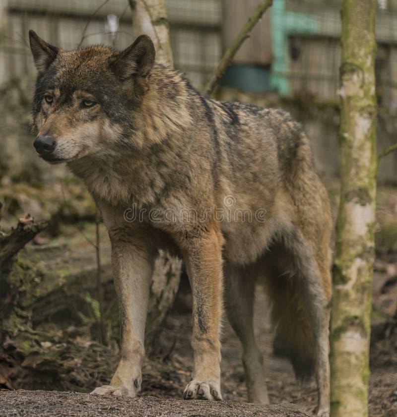 Lobo en la ciudad de Decin del PARQUE ZOOLÓGICO en invierno fotografía de archivo