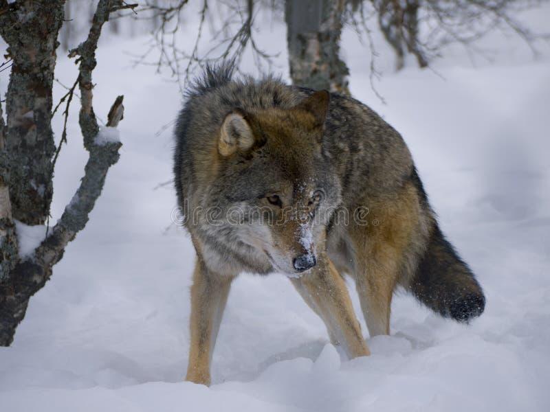 Lobo en la nieve, Noruega fotografía de archivo