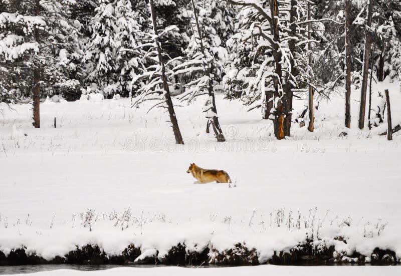 Download Lobo en Yellowstone foto de archivo. Imagen de nieve - 42445088