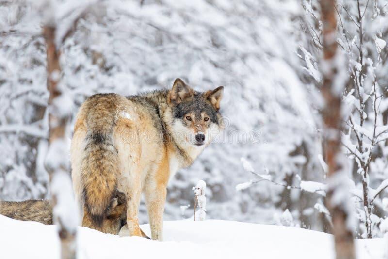 Lobo enfocado en el paquete que mira al revés en bosque frío del invierno fotos de archivo libres de regalías