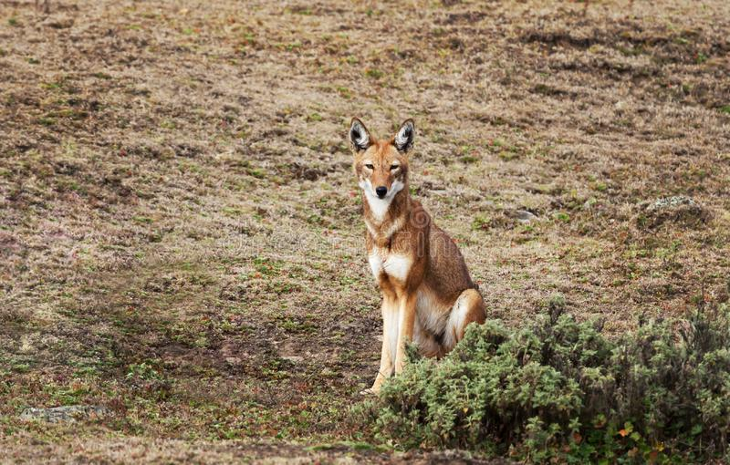 Lobo etíope raro e posto em perigo que senta-se em montanhas do pacote, Etiópia foto de stock