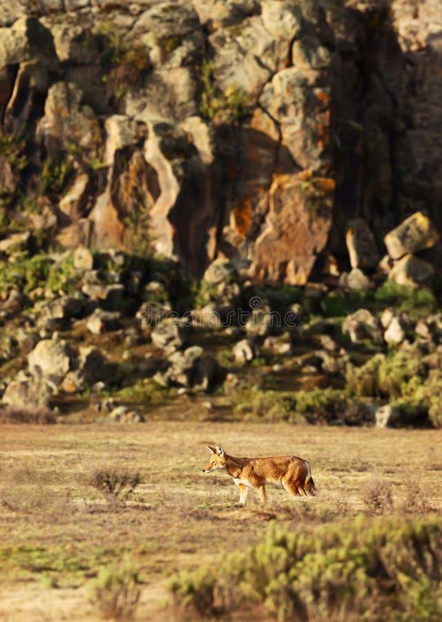 Lobo etíope raro y en peligro que camina en las montañas foto de archivo