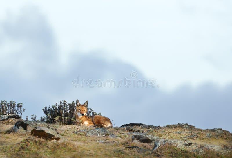 Lobo etíope raro y en peligro que miente en montañas imagen de archivo