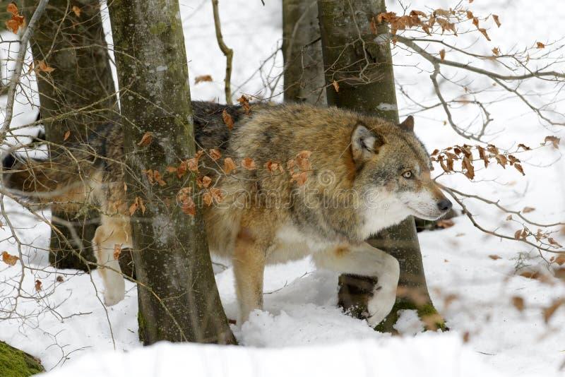 Lobo eurasiático fotografía de archivo