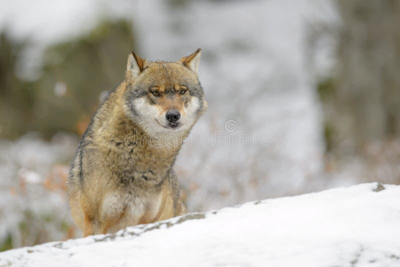 Lobo eurasiático imagen de archivo libre de regalías