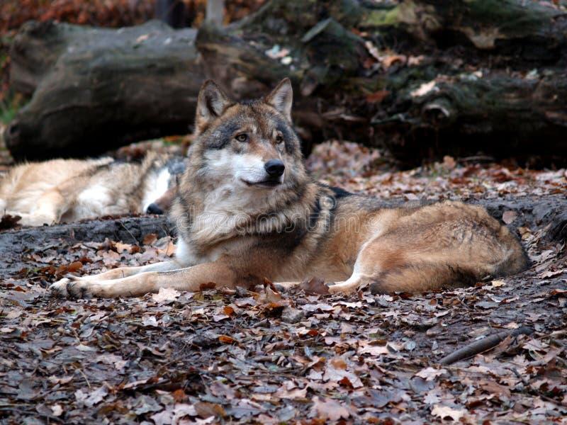 Lobo europeo - lupus del lupus de Canis fotos de archivo libres de regalías