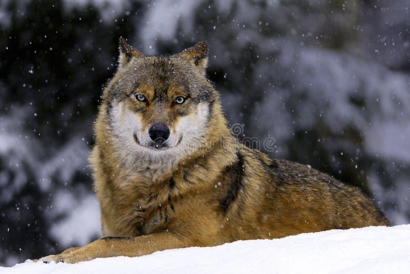 Lobo europeu na neve fotografia de stock royalty free