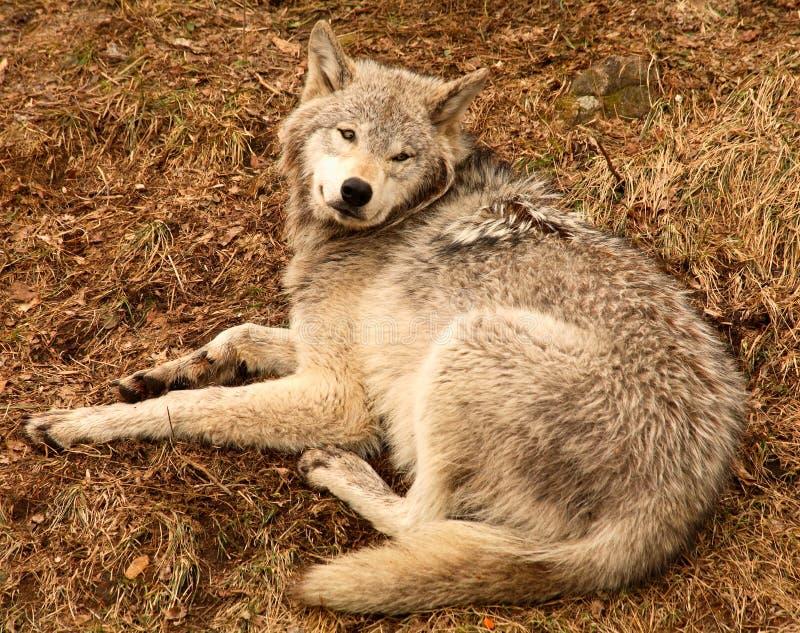 Lobo grávido que olha acima fotografia de stock