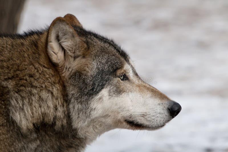 Lobo gris. imágenes de archivo libres de regalías