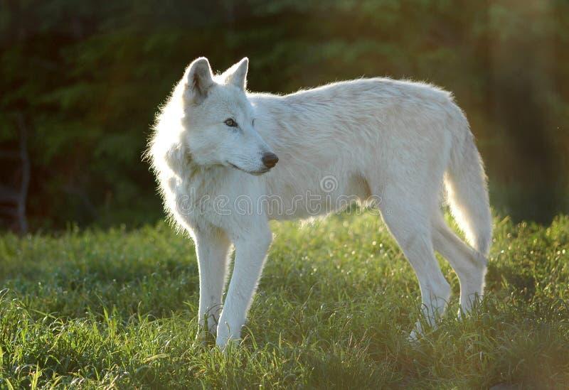 Lobo gris foto de archivo libre de regalías