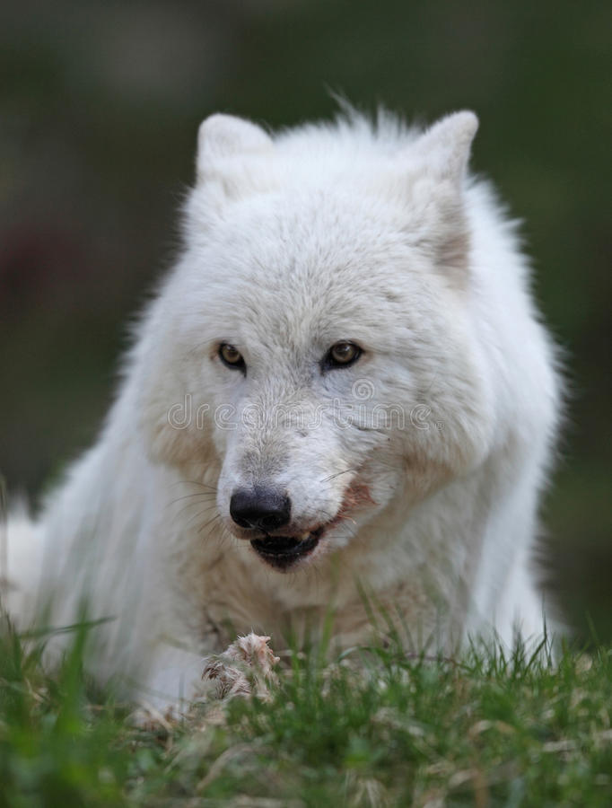 Lobo gris imagen de archivo libre de regalías