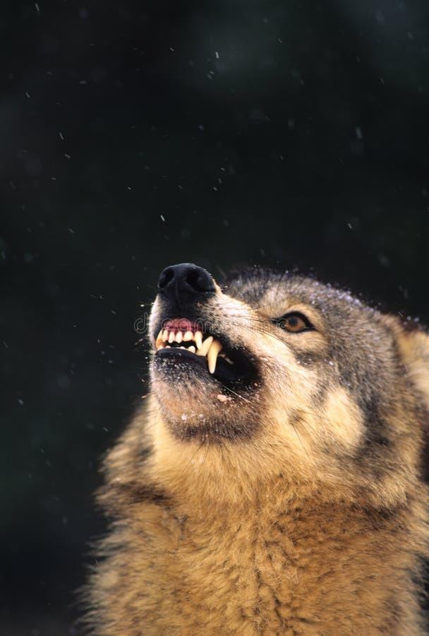 Lobo gris Agitated foto de archivo