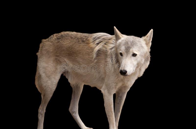 Lobo gris aislado en negro fotografía de archivo