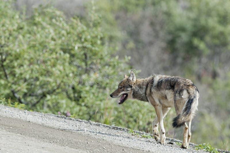 Lobo gris de Denali fotografía de archivo