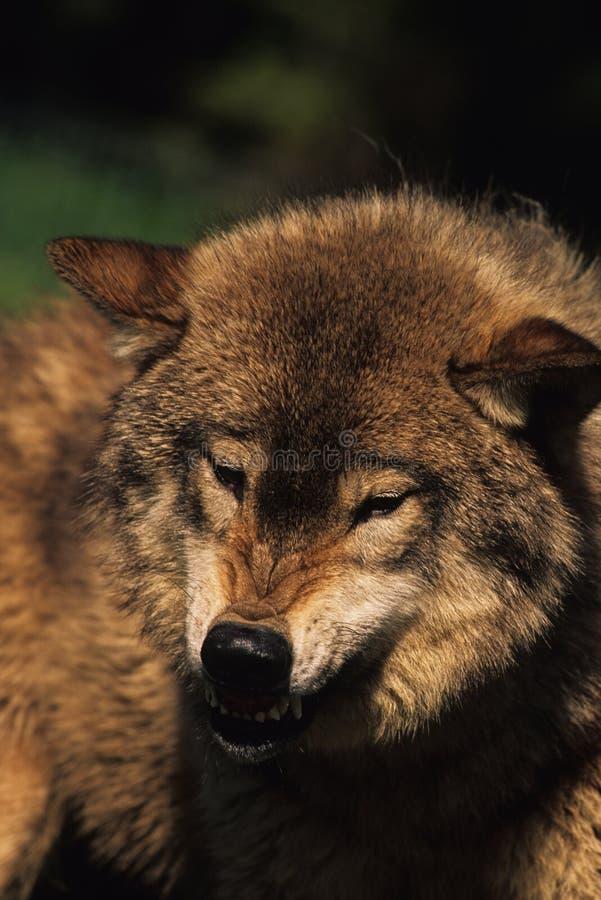 Lobo gris del grun ido fotografía de archivo libre de regalías