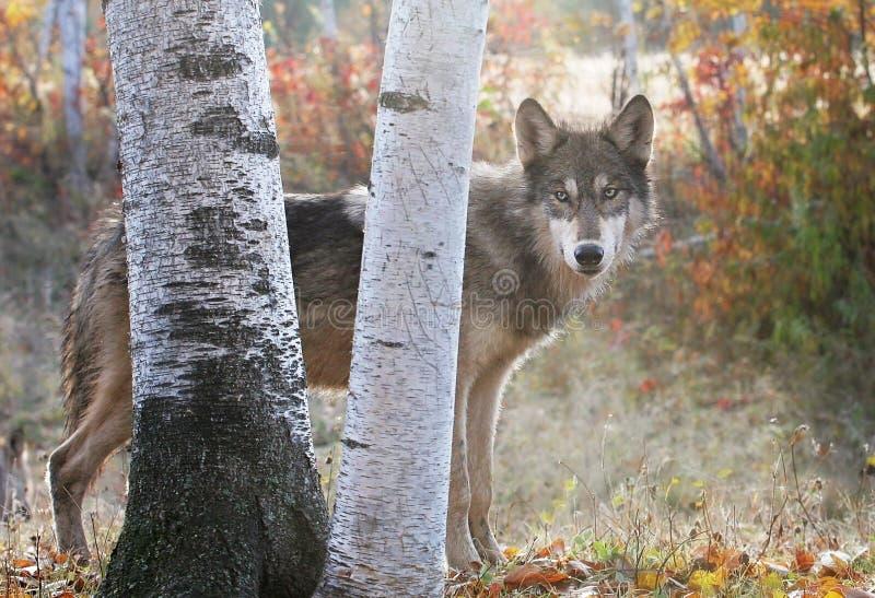 Lobo gris en el ajuste del otoño foto de archivo libre de regalías