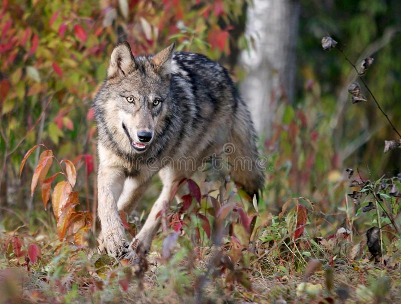 Lobo gris en el ajuste del otoño fotografía de archivo libre de regalías