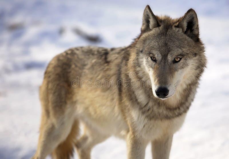 Lobo gris en invierno fotos de archivo