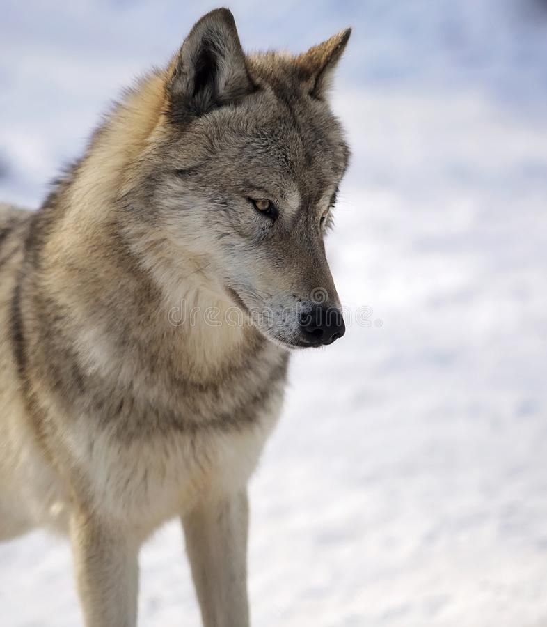 Lobo gris en invierno foto de archivo