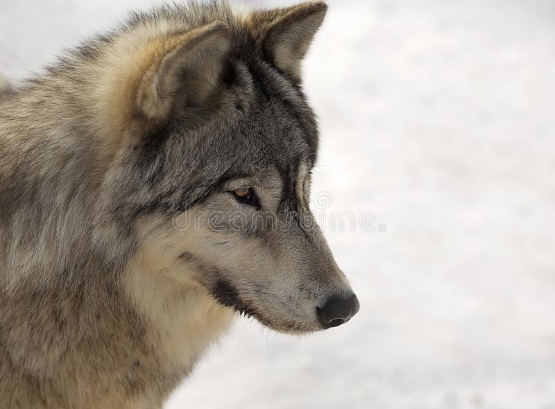 Lobo gris en invierno fotografía de archivo libre de regalías