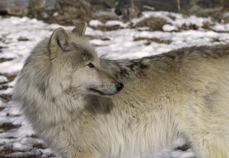 Lobo gris en la nieve fotografía de archivo