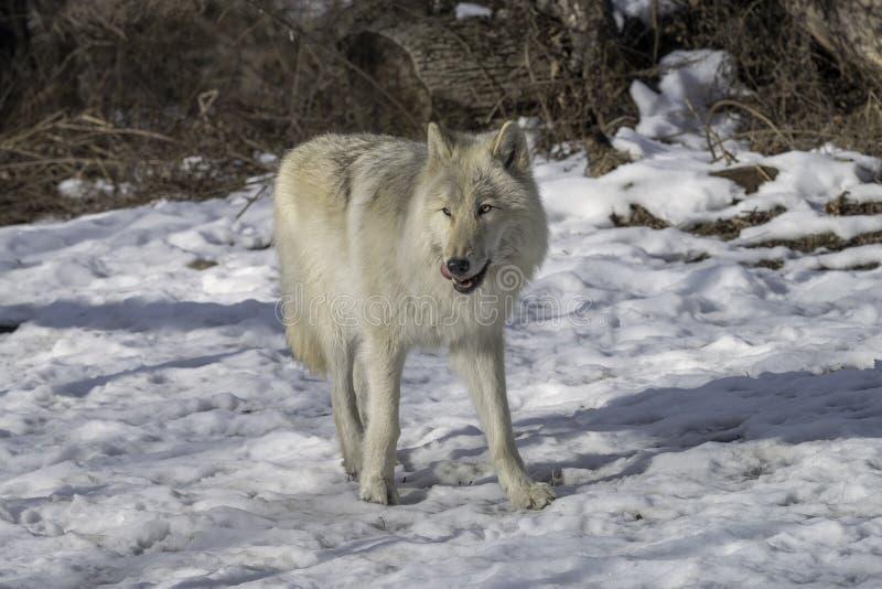 Lobo gris en la nieve imágenes de archivo libres de regalías