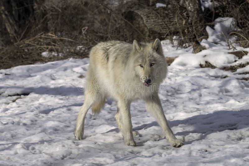 Lobo gris en la nieve fotos de archivo libres de regalías