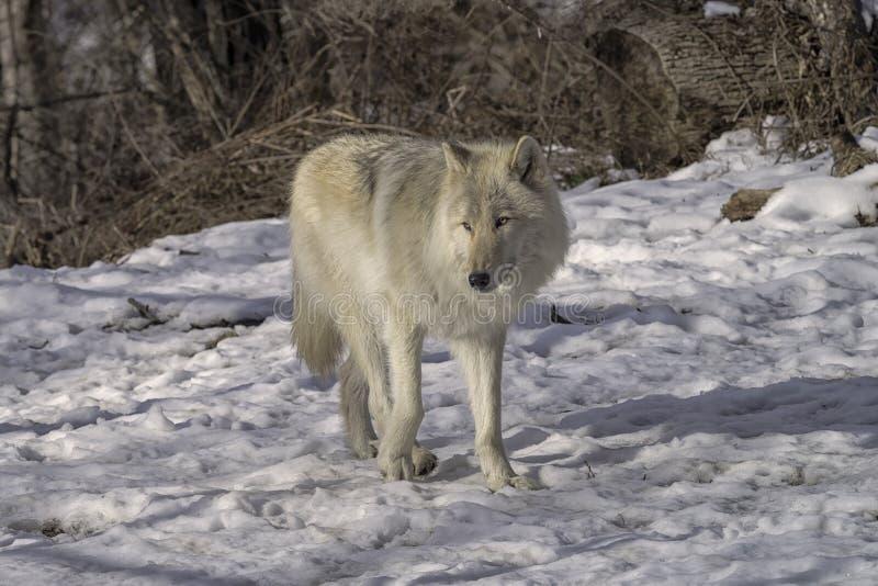 Lobo gris en la nieve foto de archivo