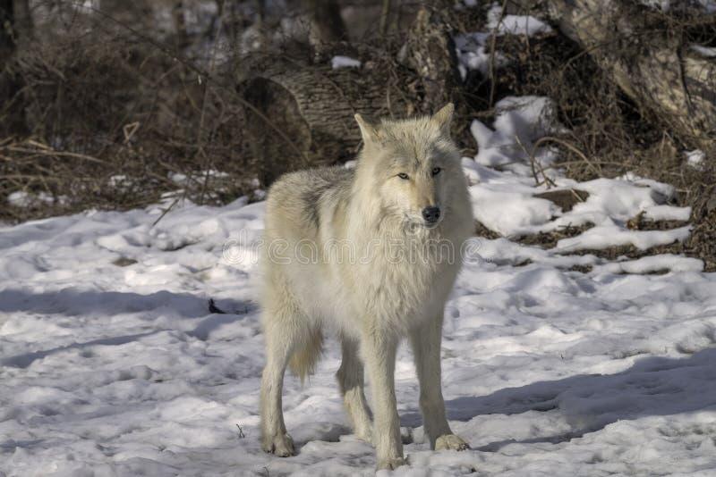 Lobo gris en la nieve imagen de archivo libre de regalías