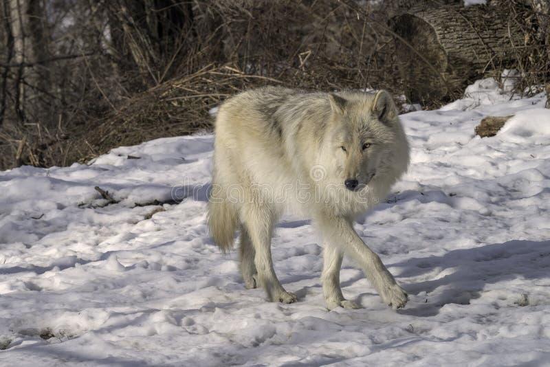 Lobo gris en la nieve fotografía de archivo libre de regalías